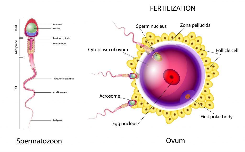 Wie funktioniert Sperma und wie baut es auf?